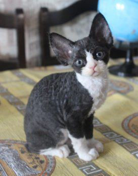 продается кошка девон рекс
