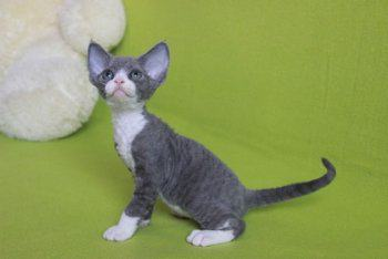 купить котенка девон-рекс