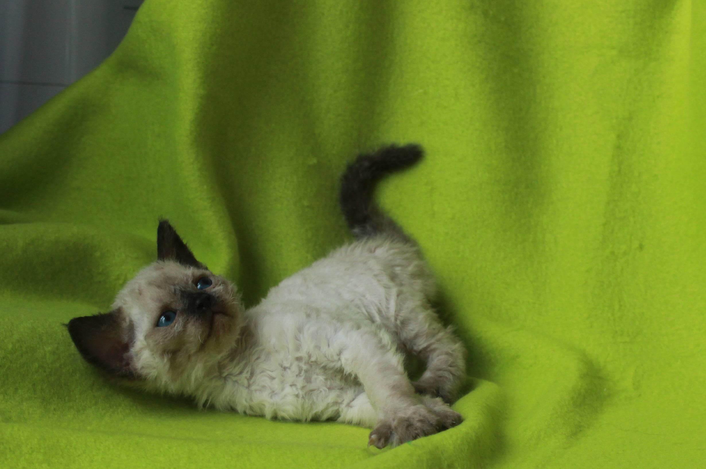 продается котенок девон-рекс