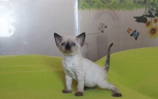 Родились котята девон-рекс.
