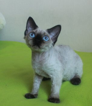 Devon rex, for sale